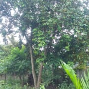 cây vú sữa
