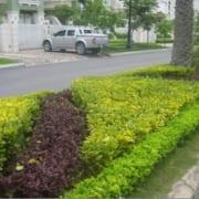 cay-chuoi-ngoc (4)