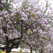 cay-hoa-ban (3)