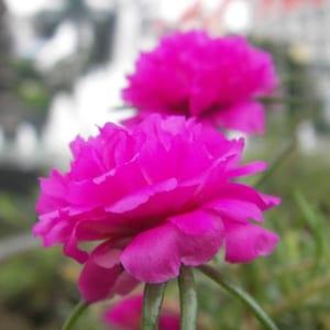 cay-hoa-sam (1)