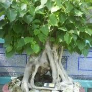 cây đề trắng cổ thụ