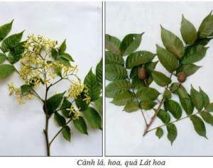 đặc điểm cây lát hoa