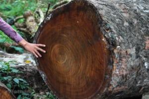 gỗ cây lát hoa