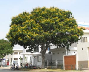 Giới thiệu chung về cây Lim xẹt