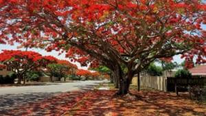 cây phượng vĩ