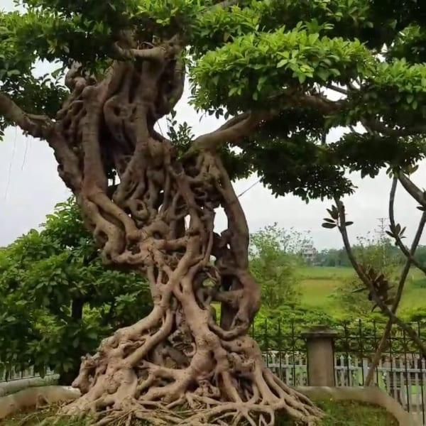 cây vối
