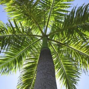 Cây thường được trồng ở xung quanh khuôn viên, các tác dụng dẫn lối vào các khu trung tâm chính, hoặc bố trí trước các công ty, nhà máy xí nghiệp