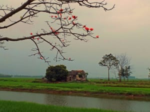 cây gạo