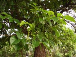 cây nhội