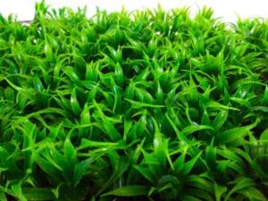 cỏ lá tre