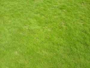 cỏ nhung