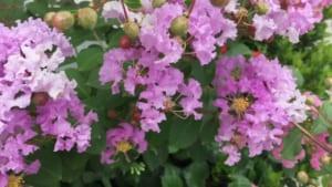 Hoa tường vi nở vào mùa nào