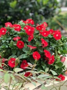 các loại cây hoa cảnh