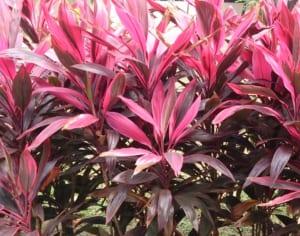 cây có lá màu tím