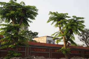 cây giàng hương